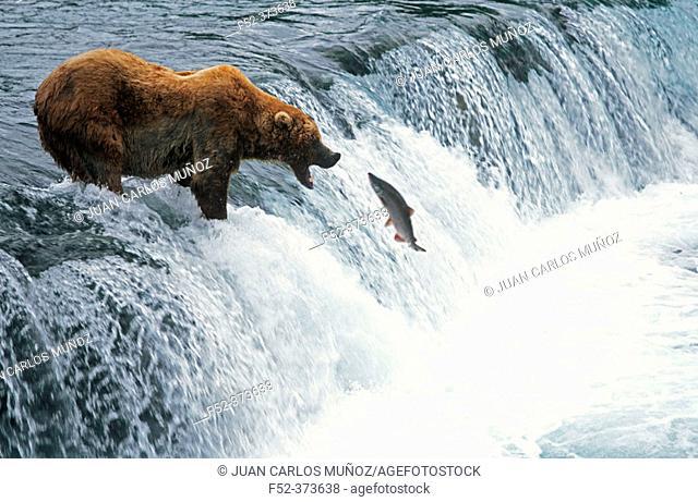 Grizzly Bear fishing in Katmai Natural Park. Alaska. USA