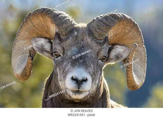 Rocky Mountain Bighorn Ram (Ovis canadensis) close up portrait, Jasper National Park, UNESCO World Heritage Site, Alberta, Canada, North America