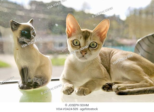 The Singapura breed of cat, declared by the Singapore government to be a living national monument