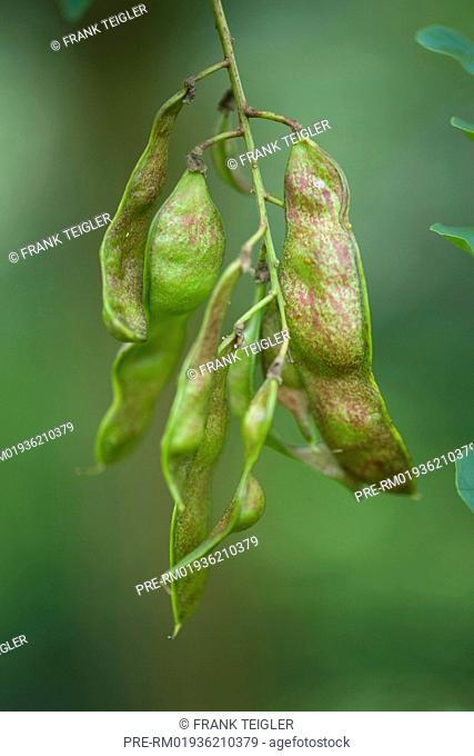 False Acacia Fruit Stock Photos And Images Age Fotostock