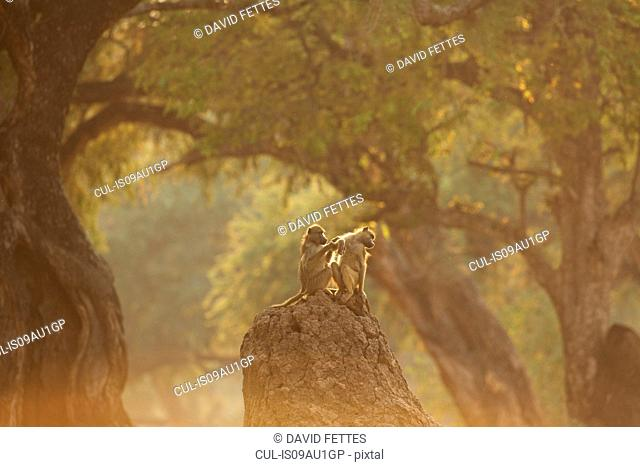 Baboons grooming (Papio cynocephalus ursinus), rear view, Mana Pools National Park, Zimbabwe