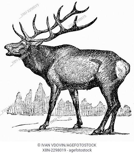 Elk, wapiti (Cervus canadensis), illustration from Soviet encyclopedia, 1927