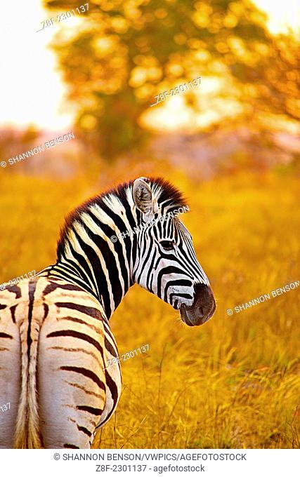 Burchell's zebra (Equus quagga burchellii) is a southern subspecies of the plains zebra. It is named after the British explorer and naturalist William John...