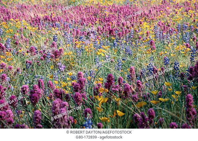 Wildflowers. Sonoran Desert. Arizona. USA