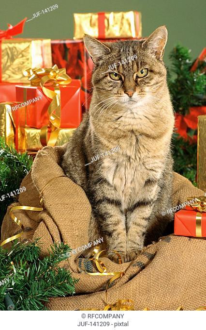 Christmas: domestic cat - sitting between presents