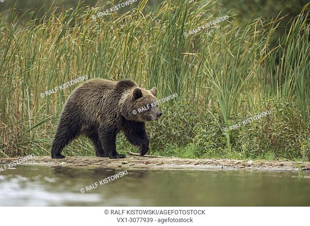 European Brown Bear ( Ursus arctos ), young cub, walking along a riverside in front of green reeds, Europe.