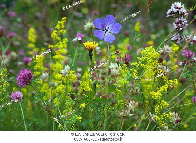 Meadow Cranesbill Geranium pratense ladies Mantle and clover