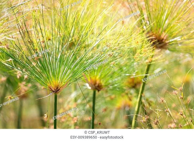Beautiful Papyrus plants with selective focus