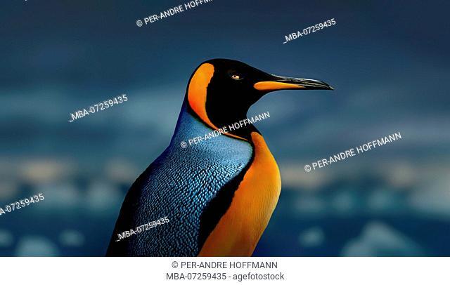 emperor penguin, Antarctic Peninsula, Antarctica