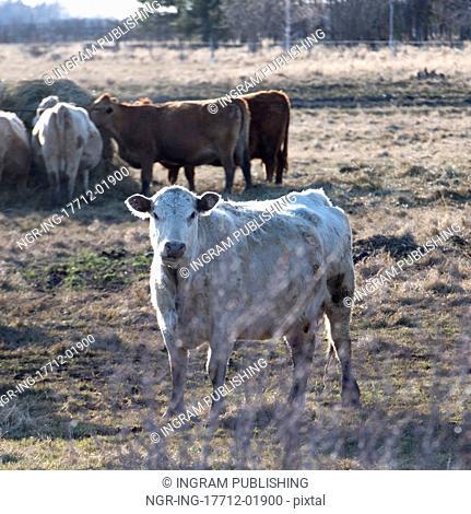 Cattle in a field, Manitoba, Canada