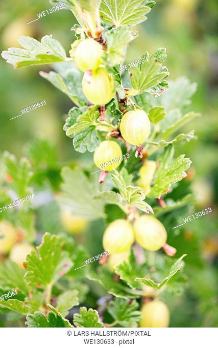 Close up of gooseberries (Ribes uva-crispa) on bush in garden