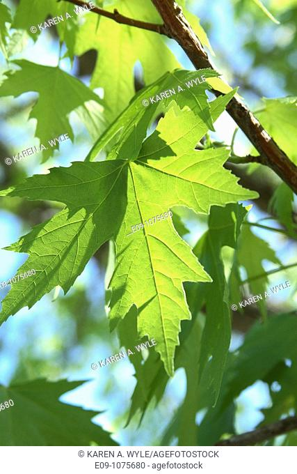 spring leaves on silver maple, some backlit by sunlight, Monroe County, Indiana