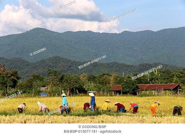 Farmers working in rice fields in rural landscape