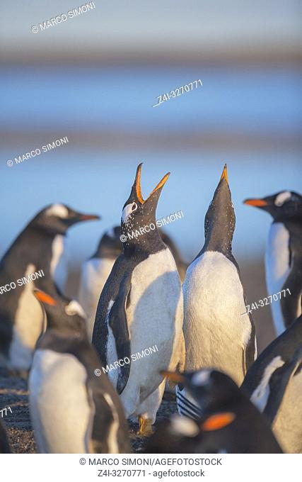 Gentoo penguins singing (Pygocelis papua papua), Sea Lion Island, Falkland Islands, South Atlantic, South America