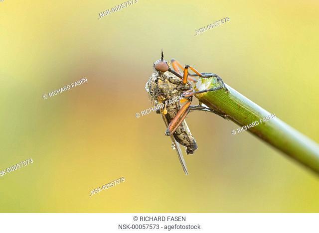 Dance fly (Empis opaca) resting on stem, The Netherlands, Noord-brabant, Veldhoven, Dommeldal