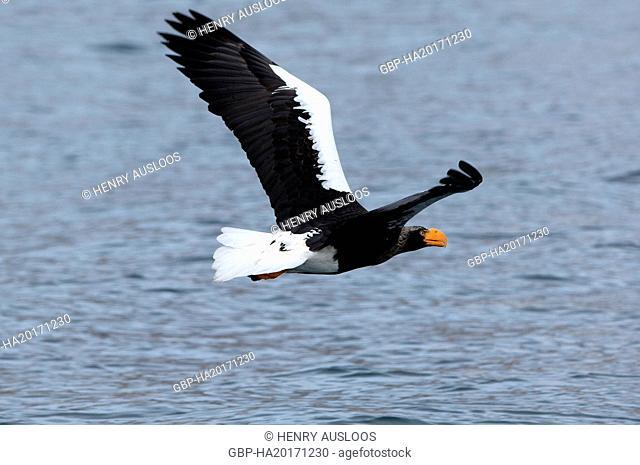 Steller's sea eagle (Haliaeetus pelagicus) flying, Japan