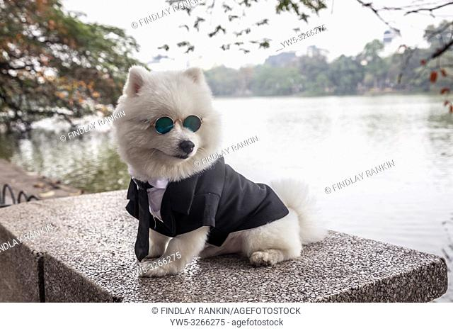 Small dog wearing sunglasses and a black and white tuxedo suit, Hanoi, Vietnam, Asia
