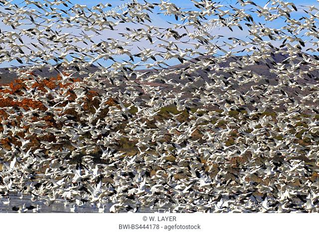 snow goose (Anser caerulescens, Chen caerulescens), flock at the sky, USA, New Mexico
