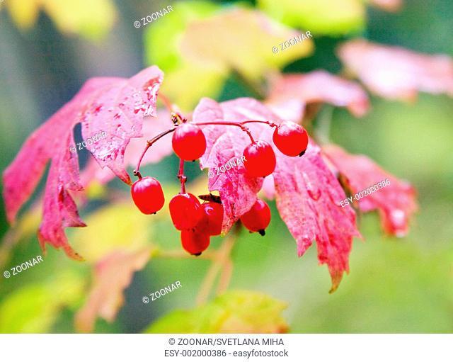 Autumnal leafs with berries, Viburnum