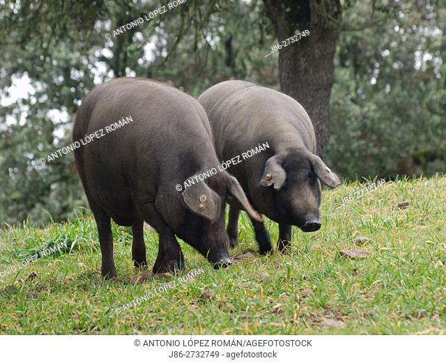 Two iberian pigs, Jabugo, Huelva province, Spain