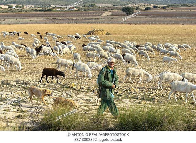 "Flock of ""Manchega"" sheep with shepherd. Sugel. Almansa. Albacete . Castile-La Mancha. Spain"