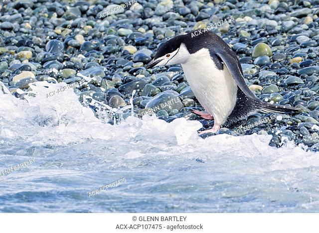 Chinstrap Penguin (Pygoscelis antarcticus) perched on the shoreline of a rocky beach on South Georgia Island