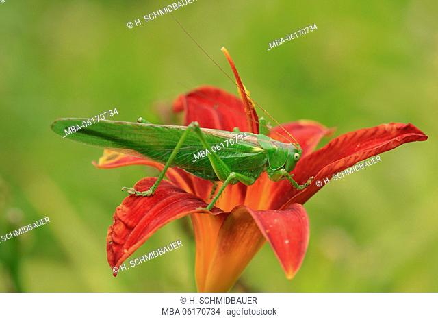 Red lily with green grasshopper