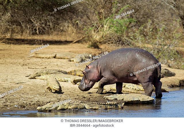 Hippopotamus (Hippopotamus amphibius) bull leaving the water, and Nile Crocodiles (Crocodylus niloticus), Sunset Dam, Kruger National Park, South Africa