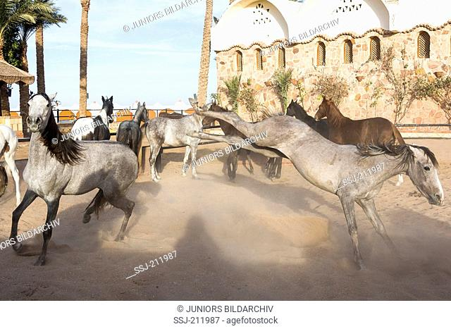 Arab Horse. Mares fighting in a paddock. Egypt