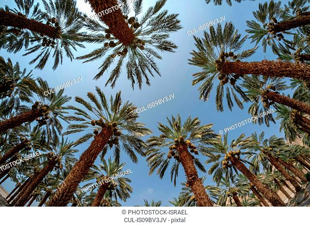 Desert agriculture. Low angle fisheye view of palm tree plantation in the Dead Sea region, Israel