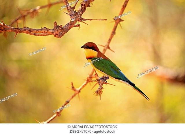 Sri Lanka, Yala national patk, Chestnut-headed bee-eater (Merops leschenaulti)