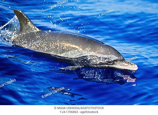pantropical spotted dolphin, Stenella attenuata, wake-riding, offshore, Kona Coast, Big Island, Hawaii, USA, Pacific Ocean