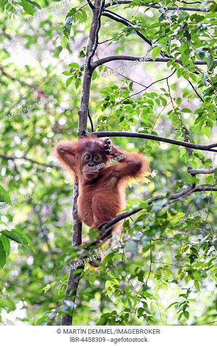 Juvenile Sumatran orangutan (Pongo abelii) in rainforest, Sumatra, Indonesia
