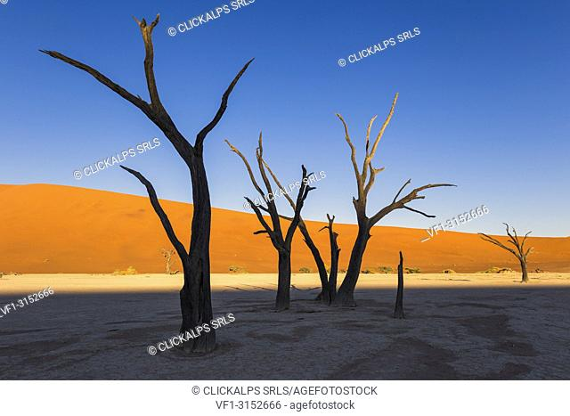 Dead acacia trees and sand dunes,Deadvlei clay pan,Namib Naukluft national park,Namibia,Africa