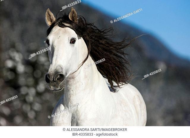 PRE gray galloping horse in winter, portrait, Tyrol, Austria