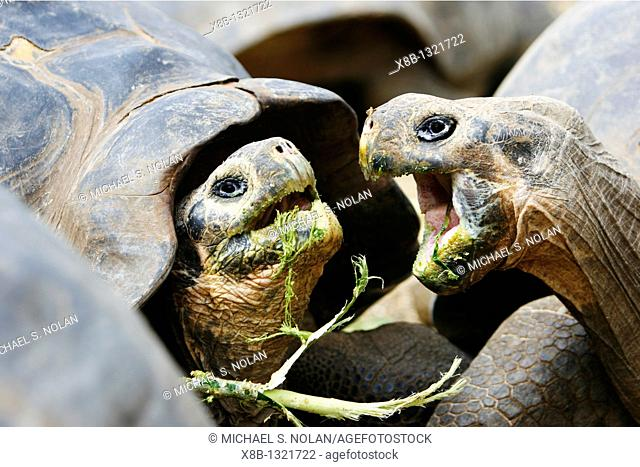 Captive Galapagos giant tortoises Geochelone elephantopus squabbling while being fed at the Charles Darwin Research Station on Santa Cruz Island in the...