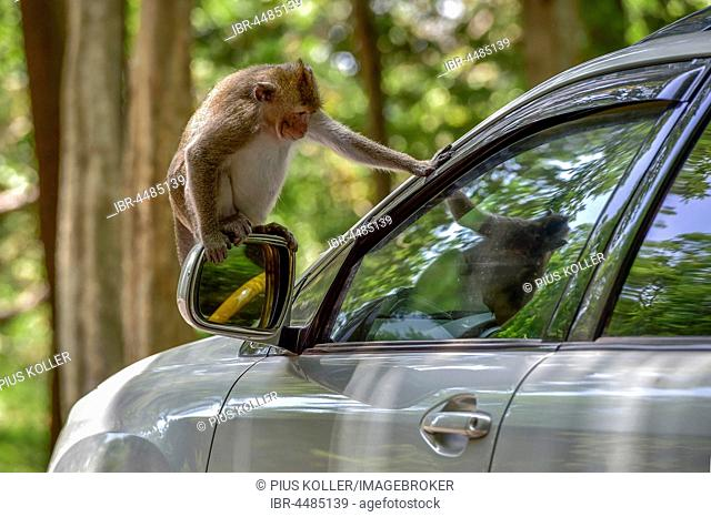 Monkey sitting on side-view mirror of a car, Sihanoukville, Cambodia