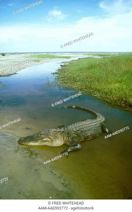 American Alligator (Alligator mississippiensis) Cumberland Island, GA, Georgia