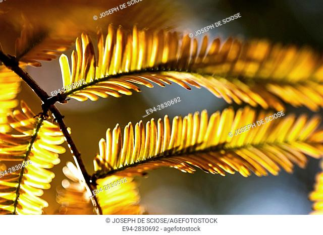 Abstract leaves of the Dawn Redwood tree, in fall color
