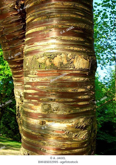 tibetan cherry, birch bark Cherry (Prunus serrula), stem