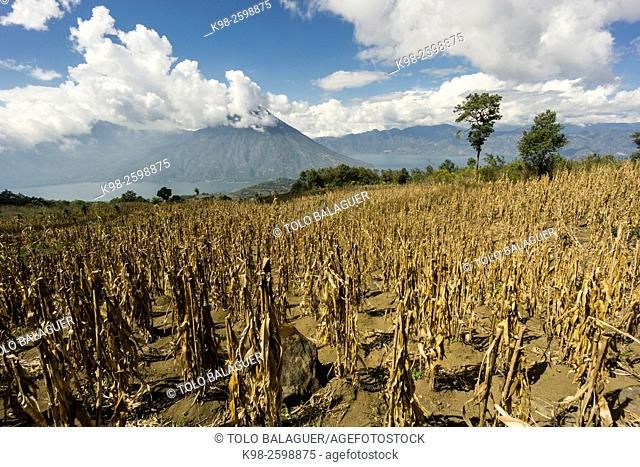 plantacion de maiz en las laderas del volcán Tolimán ,Santiago Atitlan, lago de Atitlán ,Guatemala, Central America