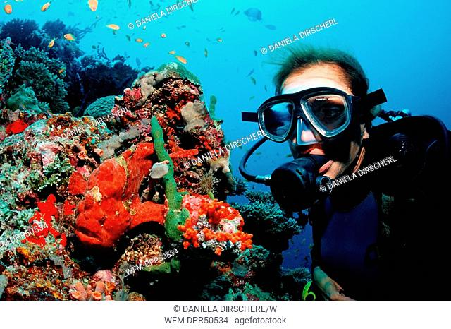 Scuba Diver watching red Giant Frogfish, Antennarius commersonii, North Ari Atoll, Maldives