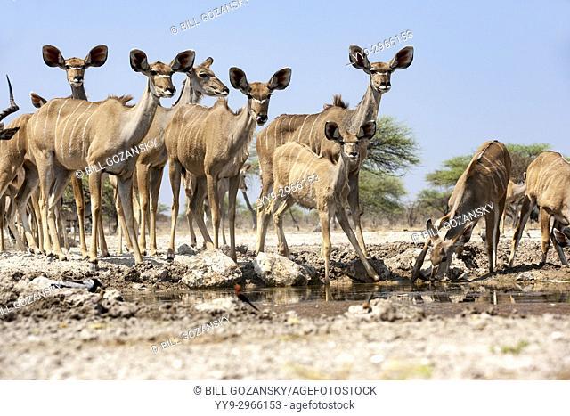 Female Greater kudu (Tragelaphus strepsiceros) at Onkolo Hide, Onguma Game Reserve, Namibia, Africa