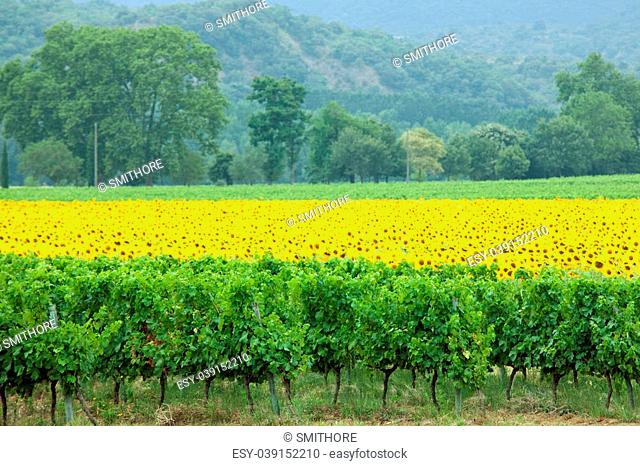 agriculture landscape vineyard and vivid sunflower