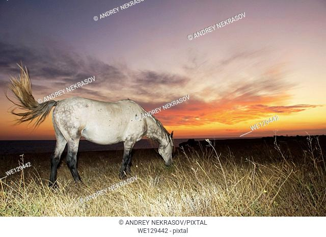Horse in the steppe at sunset, Cape Tarhankut, Tarhan Qut, Crimea, Ukraine, Eastern Europe