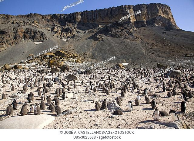 Antarctica. Adelie penguins (Pygoscelis adeliae) on the rocky beach of Brown Bluff. East coast of Tabarin Peninsula, on the South-western coast of the Antarctic...