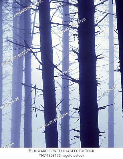 misty pine forest with tree trunks looking ghostly in the gloom