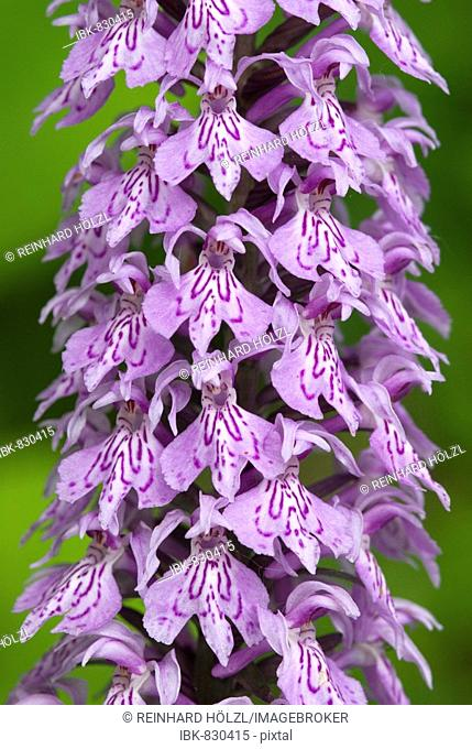 Common Spotted Orchid (Dactylorhiza fuchsii), Lake Tristach, Lienz, East Tyrol, Austria, Europe