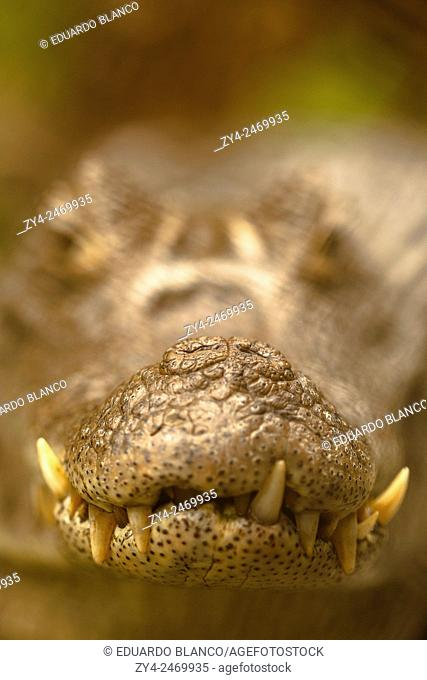 Caiman crocodilus. Zoo ave. Costa Rica. America