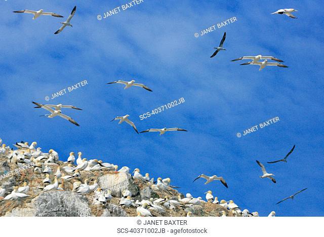 Northern Gannet Morus bassanus, breeding gannet colony, Grassholm Grassholm, Pembrokeshire, Wales, UK RR